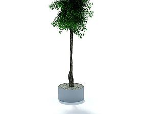 3D model Briaded Potted Ficus