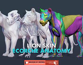 Animal - Lion Anatomy Skin Ecorche Body 3D model