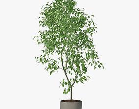 3D ficus Benjamin 02 leaf