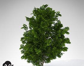 XfrogPlants Hornbeam 3D