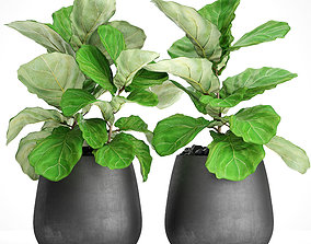 Ficus Lyrata Trees 3D model fiddle-leaf