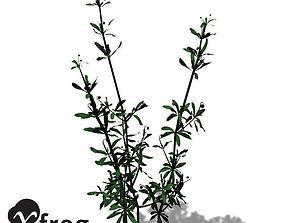 3D model XfrogPlants Cleavers