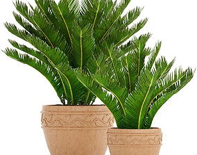 Cycas palm tree 7 3D