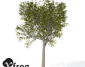 XfrogPlants European Mountain Ash 1 3D
