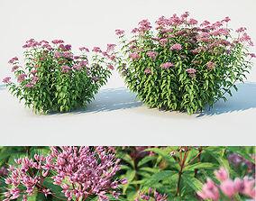 Eupatorium purpureum Nr1 -Two sizes H 85-110 3D model