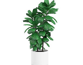 Potted Ficus Tree 3D model