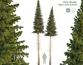 Siberian spruce Picea obovata 8m and 9m 3D