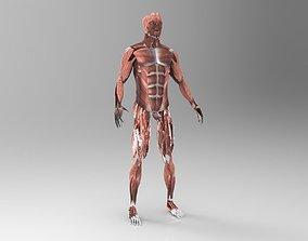 Muscular System 3D