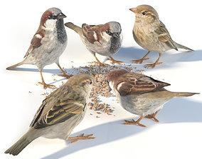 House Sparrow - feeding 3D