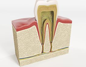 3D model Tooth structure