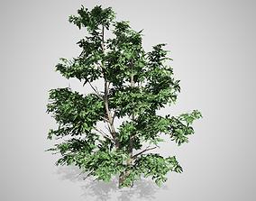 3D asset Korean Stewartia Tree