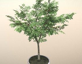 Rowan Tree - Sorbus-Aucuparia - 12m - Summer 3D asset