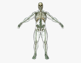 3D Human Lymphatic System with Full Body Skeleton