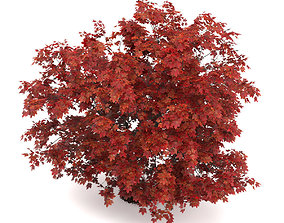 3D Japanese Maple Acer Palmatum