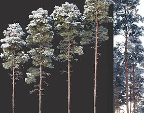 3D model Pinus sylvestris Nr12 H17-22m Winter Four tree