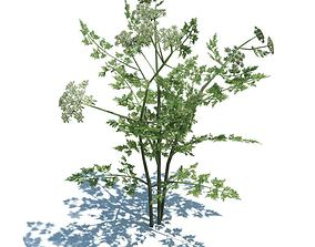 Annual Herb Plant Fool s Parsley 3D model