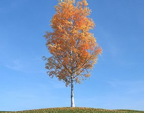 Birch Tree In Autumn With Orange Leaves 3D model