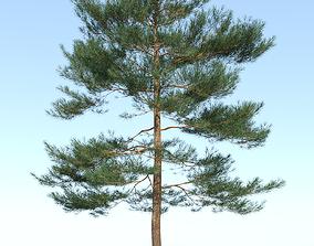 Pinus sylvestris - Scots pine - 9m - 3D