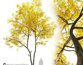 3D model Autumn ash- Fraxinus pennsylvanica