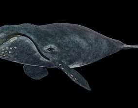 3D model Southern Right Whale - Ballena Franca