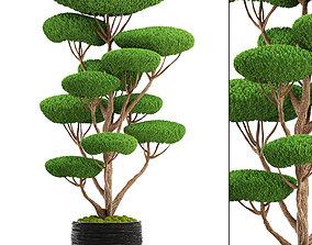 plant bonsai tree 3D model