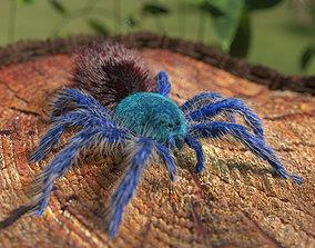 Tarantula Chromatopelma 3D model