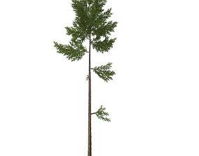 pine tree 23m 3D