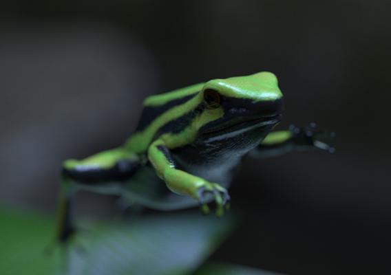 Three-striped poison dart frog - Alive