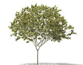 3D model Norway Maple Acer platanoides 8m