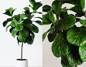 3D Ficus Lyrata- Fiddle Leaf Fig Plant