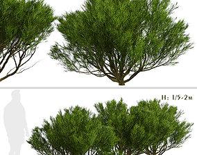 3D Set of Pinus Mugo or Bog Pine Trees - 3 Trees