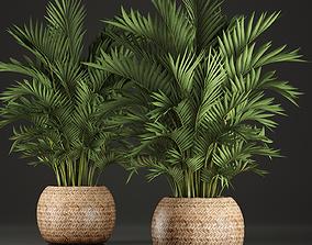 3D model Decorative palms Howea 2