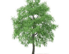 3D model White Willow Salix alba 15m