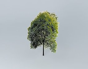 Beech tree 3D