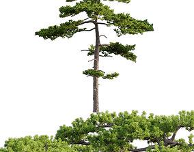 3D model Pinus taiwanensis - Taiwan red pine - Pine 04