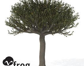 XfrogPlants Forest Sandpaper Fig 3D
