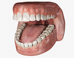 3D Human Mouth With Teeth Rigged