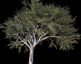 3D Quercus -Coast Live Oak 02