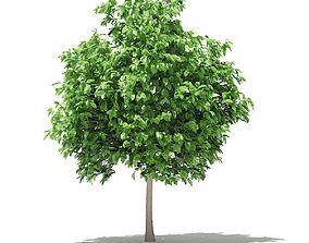 Pomelo Tree 3D model maxima