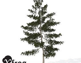 XfrogPlants Eastern White Pine 1 3D