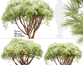3D Set Of Pinus Mugo or Creeping Pine Trees - 3 Trees