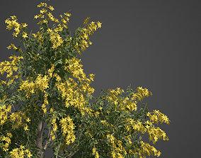 3D 2021 PBR Golden Shower Tree Collection - Cassia