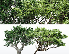 3D Acacia African Olive tree collection 2 trees in the