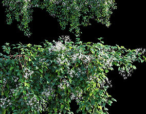 3D model Creeper - Clematis Glycinoides - 1