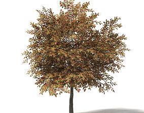Mountain Ash 3D Model 7m