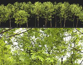 3D park Ash-tree Height 15 - 23 m Park trees