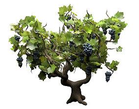 Italian Wine Plant grapes 3d model