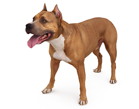 Staffordshire Terrier Dog Standing 3D asset low-poly
