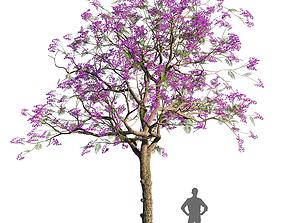 Jacaranda mimosifolia 1 3D model other