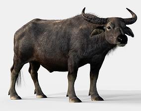3D model 2020 Asian buffalo - Water buffalo